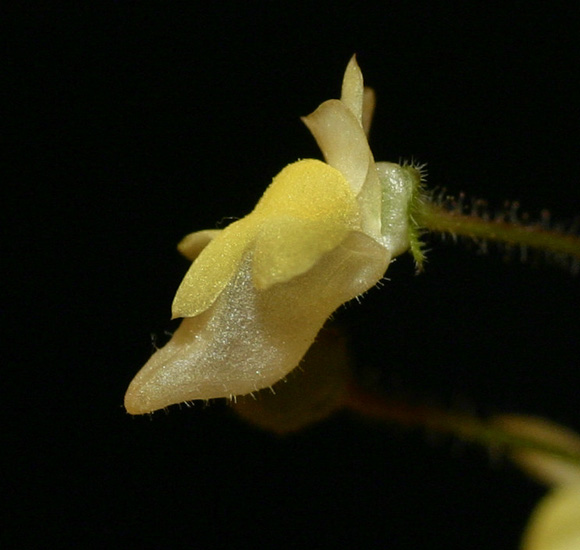 Genlisea filiformis