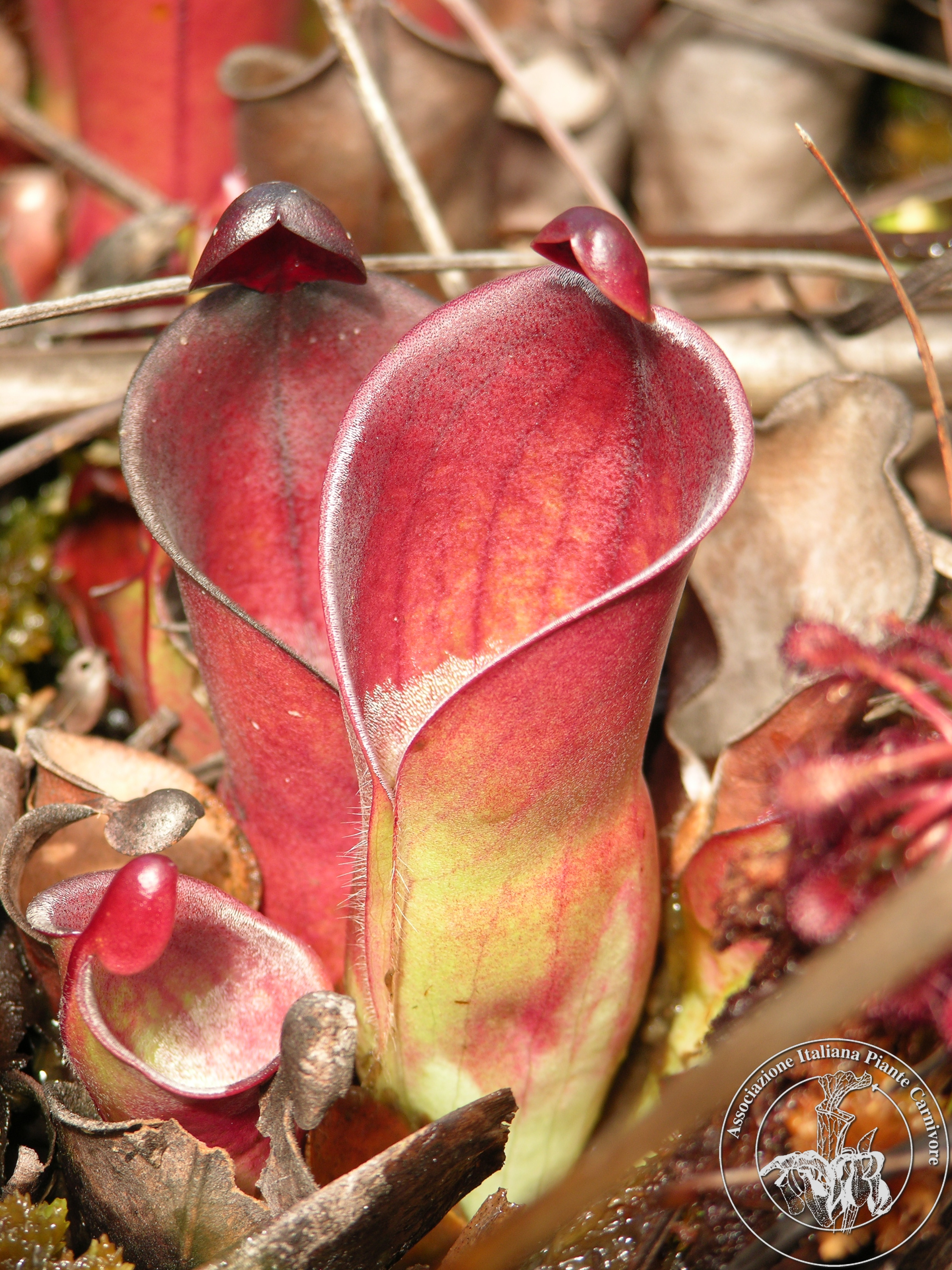 Heliamphora minor