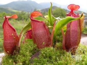 Nepenthes densiflora