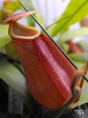 Nepenthes distillatoria