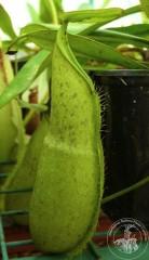 Nepenthes hirsuta
