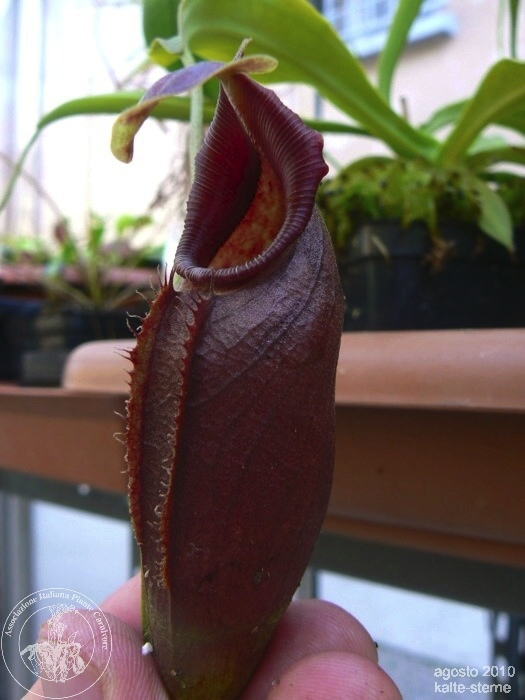 Nepenthes ovata