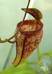 Nepenthes tenuis