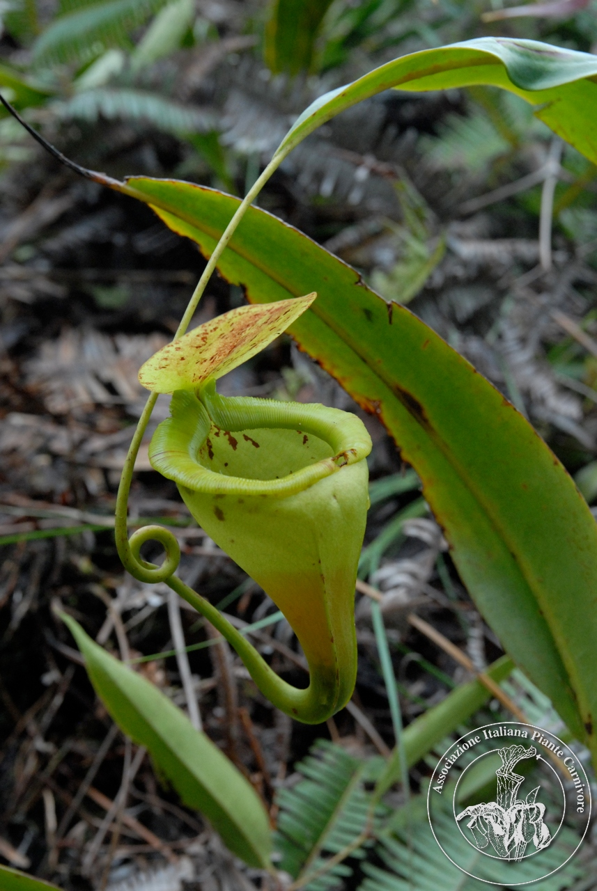 Nepenthes paniculata