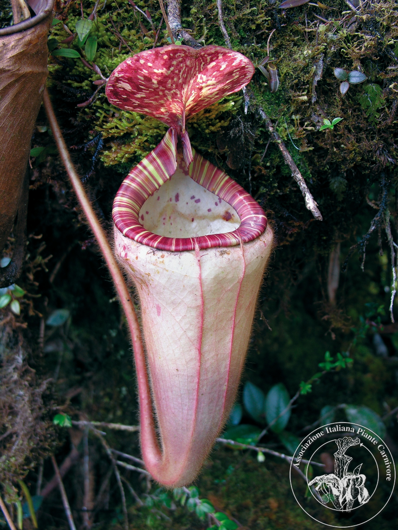Nepenthes pilosa