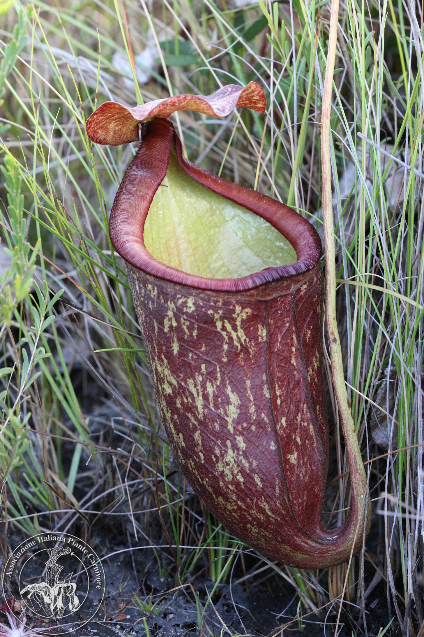 Nepenthes rowanae